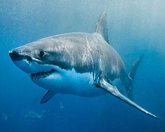 Des programmes sont des prédateurs - Ils sont comme des requins blancs